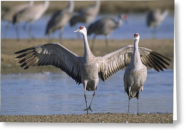 Sandhill Cranes Roost Along The Platte Greeting Card by Joel Sartore