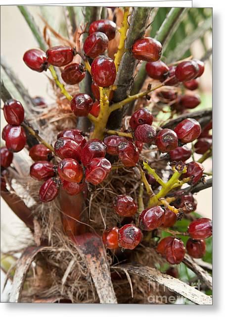Saw Palmetto Seeds Greeting Card by Inga Spence