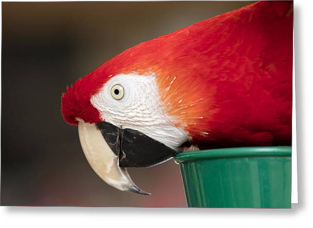 Scarlet Macaw Perched At A Local Plaza Greeting Card