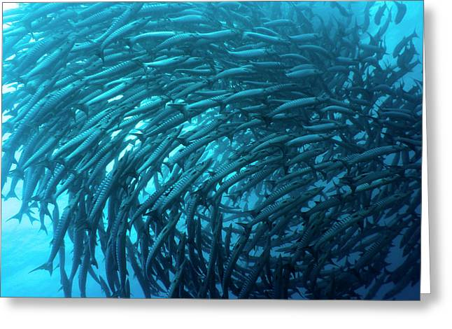 Scuba Diving Greeting Cards - School of barracudas underwater Greeting Card by MotHaiBaPhoto Prints