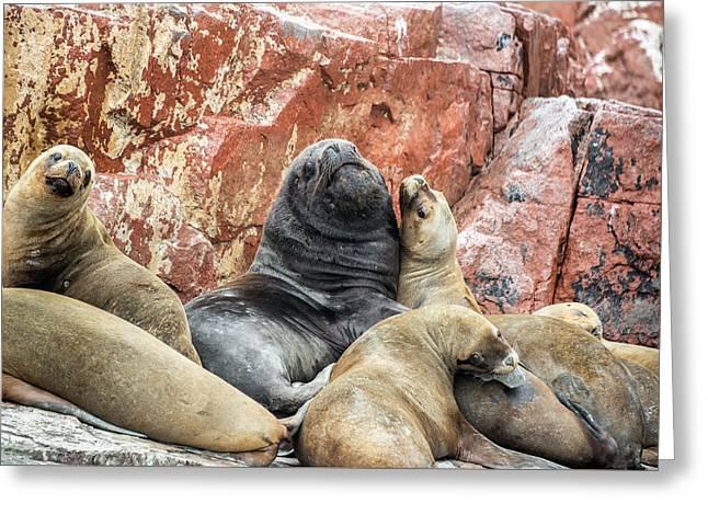 Sea Lions On A Rock Greeting Card by Jess Kraft
