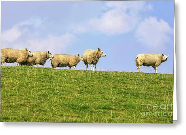 Greeting Card featuring the photograph Sheep On Dyke by Patricia Hofmeester