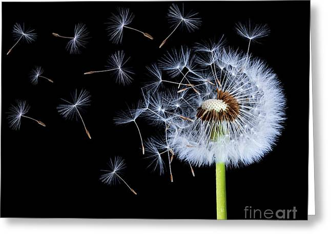 Silhouettes Of Dandelions Greeting Card