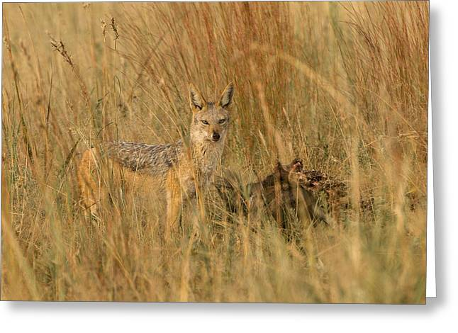 Silver Backed Jackal Greeting Card