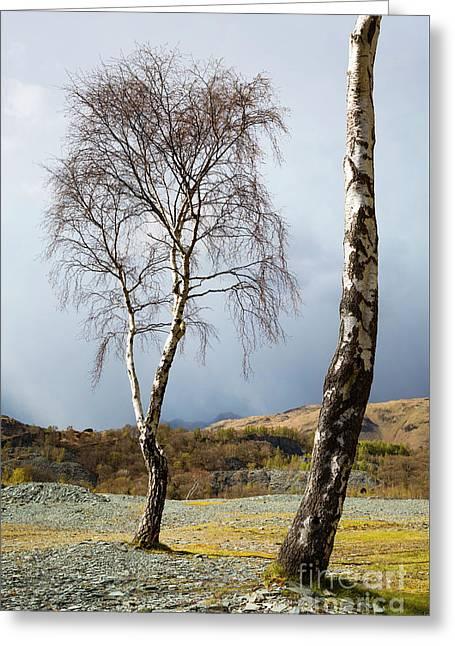 Silver Birch - Hodge Close Greeting Card