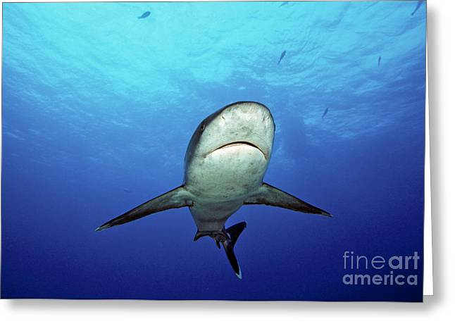 Silvertip Shark Greeting Card by Dave Fleetham - Printscapes