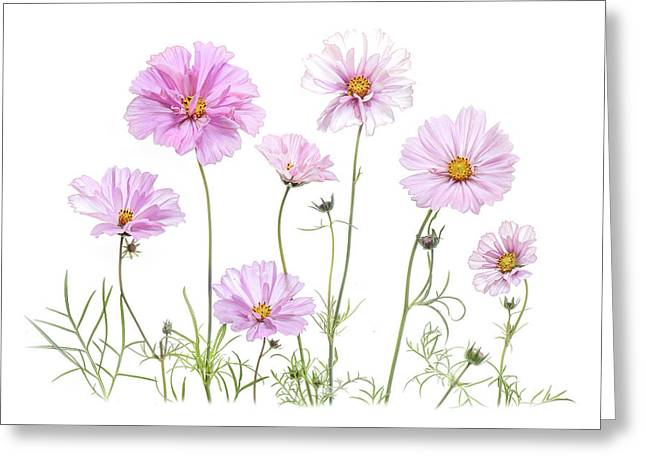 Simply Cosmos Greeting Card by Jacky Parker
