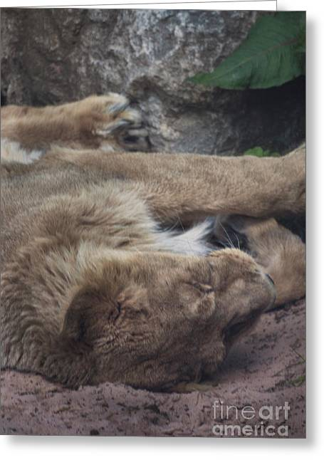 Sleeping Lion Greeting Card