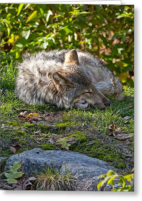 Greeting Card featuring the photograph Sleeping Timber Wolf by Michael Cummings