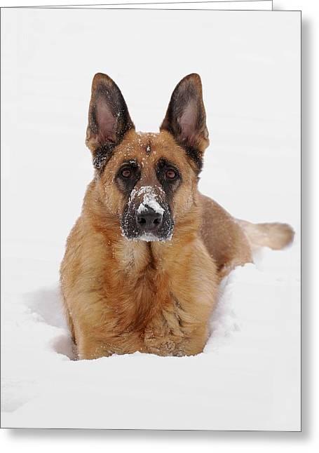 Snow Portrait Of A German Shepherd Dog Greeting Card by Angie Tirado
