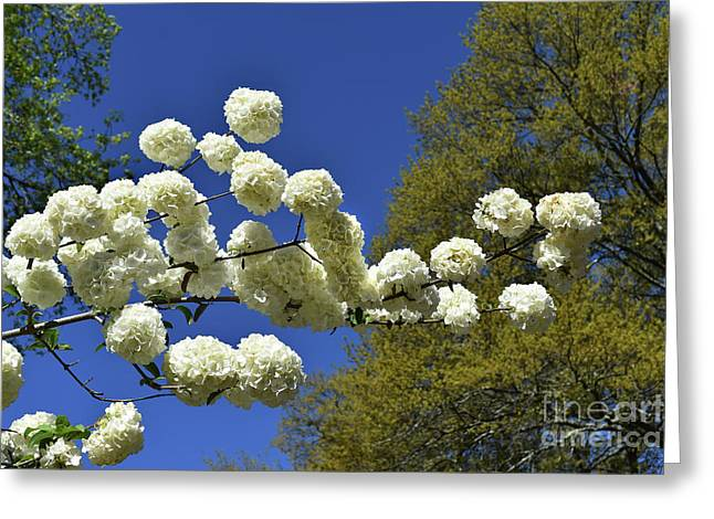 Greeting Card featuring the photograph Snowballs by Skip Willits