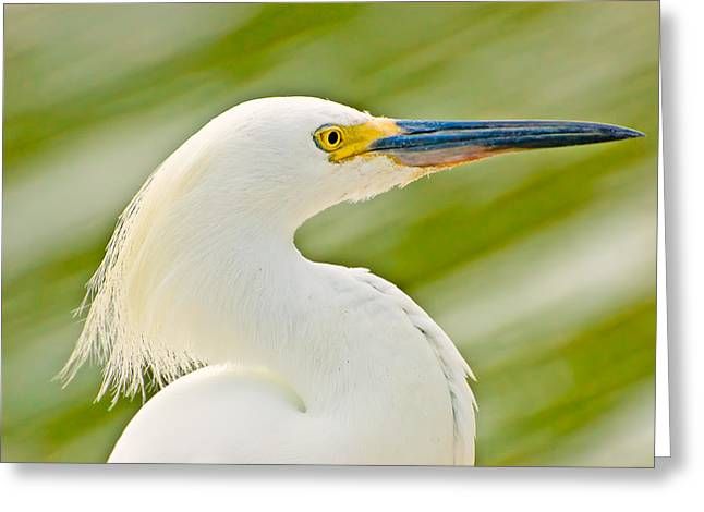 Egretta Thula Greeting Cards - Snowy Egret Greeting Card by Rich Leighton
