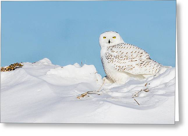 Snowy Owl Greeting Card by Dan Traun