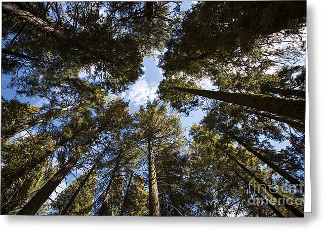 Soaring Sequoias Greeting Card by Timothy Johnson