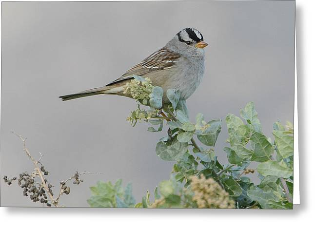 Sparrow Song Greeting Card by Fraida Gutovich