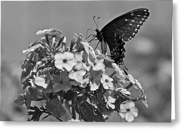 Spicebush Swallowtail Greeting Card by Sandy Keeton