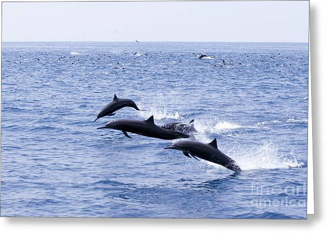 Spinner Dolphins Greeting Card by Rick Gaffney - Printscapes