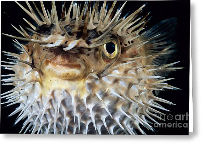 Spiny Puffer Greeting Card by Dave Fleetham - Printscapes
