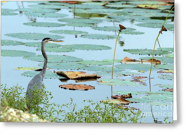 Spring Lake Fish And Wildlife Area - Ardea Herodias Greeting Card