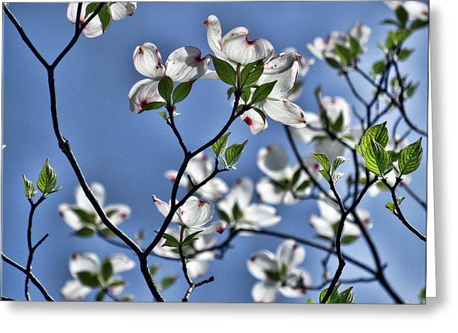 Spring Tree Blossoms Greeting Card by Mikki Cucuzzo