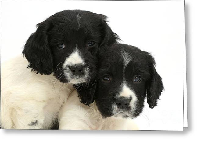 Springer Spaniel Puppies Greeting Card by Mark Taylor