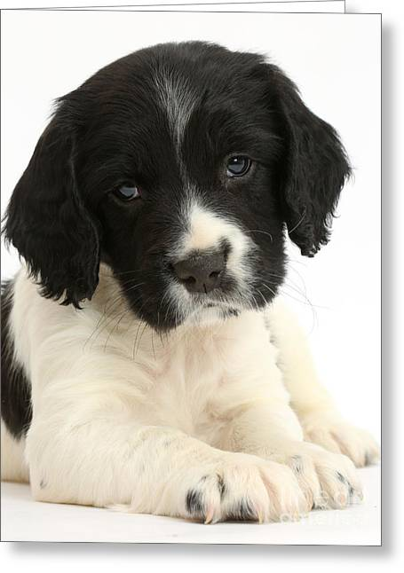 Springer Spaniel Puppy Greeting Card by Mark Taylor