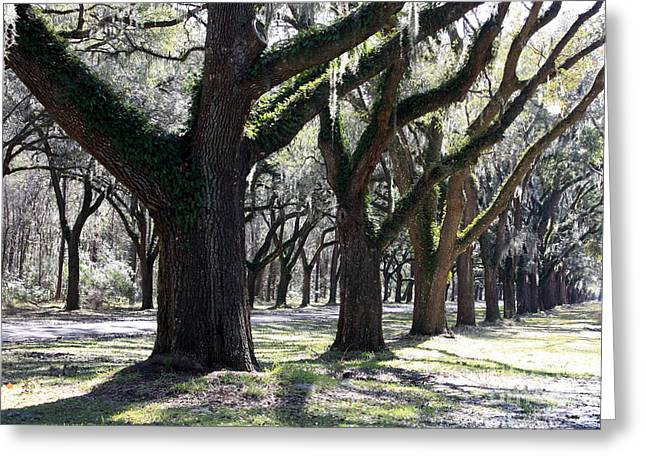 Southern Oak Trees Of The Old South Greeting Cards - Strong and Proud in the South Greeting Card by Carol Groenen