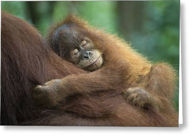 Orang-utans Greeting Cards - Sumatran Orangutan Pongo Abelii Two Greeting Card by Suzi Eszterhas
