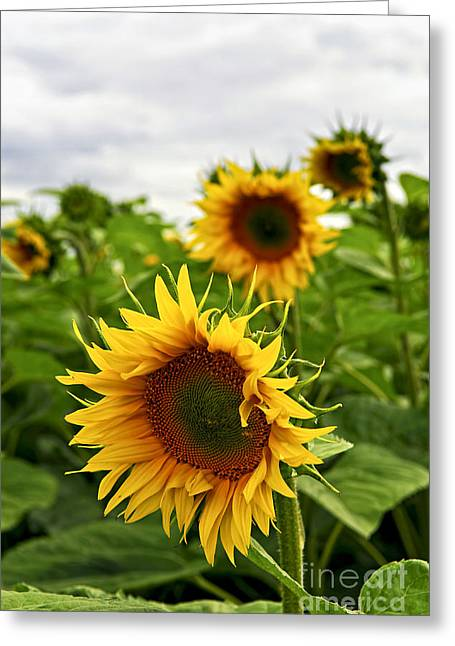Yellow Sunflower Greeting Cards - Sunflower field Greeting Card by Elena Elisseeva
