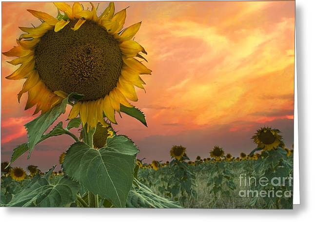 Sunflower Field  Greeting Card by Juli Scalzi