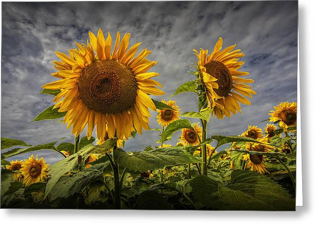 Sunflowers Blooming In A Field Greeting Card