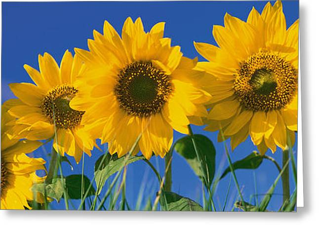 Sunflowers Greeting Card by Panoramic Images