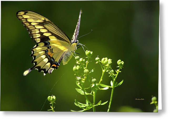 Greeting Card featuring the photograph Elegant Swallowtail Butterfly by Christina Rollo