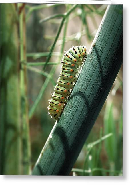 Greeting Card featuring the photograph Swallowtail Caterpillar by Meir Ezrachi