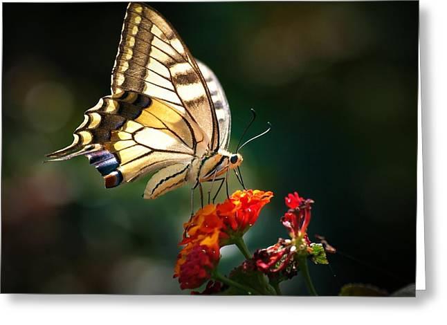 Swallowtail Greeting Card by Meir Ezrachi
