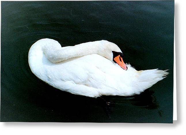 Swan At Rest  Greeting Card by Richard Mansfield