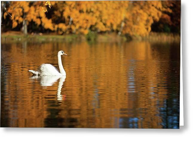 Swan On A Lake Greeting Card by Teemu Tretjakov
