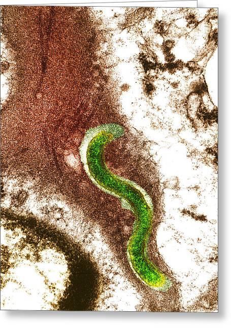 Syphilis Bacterium (treponema Pallidum) Greeting Card by Biomedical Imaging Unit, Southampton General Hospital