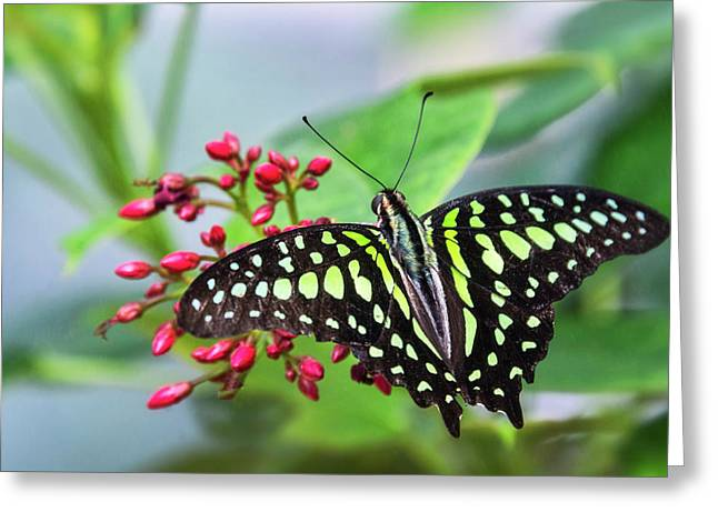 Greeting Card featuring the photograph Tailed Green Jay Butterfly  by Saija Lehtonen