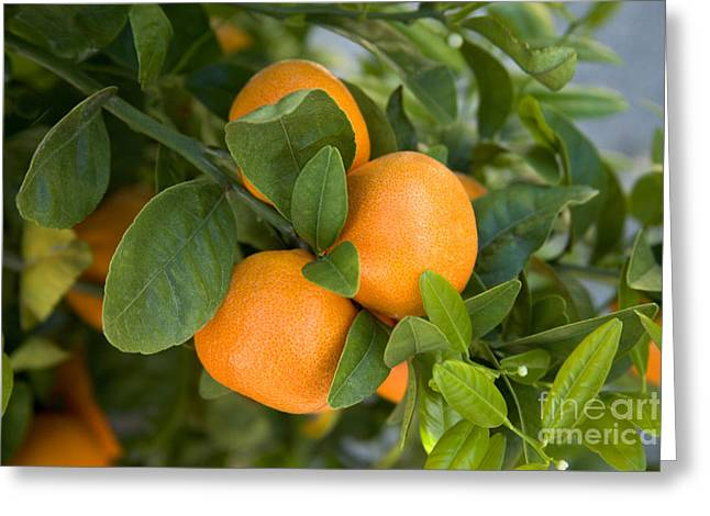 Tangerines On A Tree Branch Greeting Card by Inga Spence