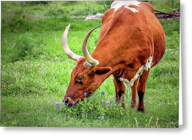 Greeting Card featuring the photograph Texas Longhorn Grazing by Robert Bellomy