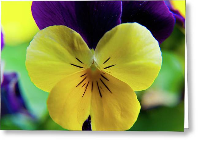 Greeting Card featuring the photograph The Face Of A Pansy by Brenda Jacobs