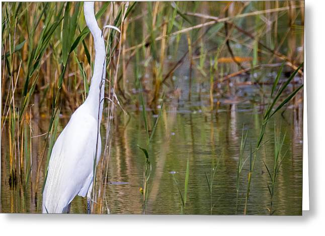 The Great White Egret Greeting Card by Ricky L Jones