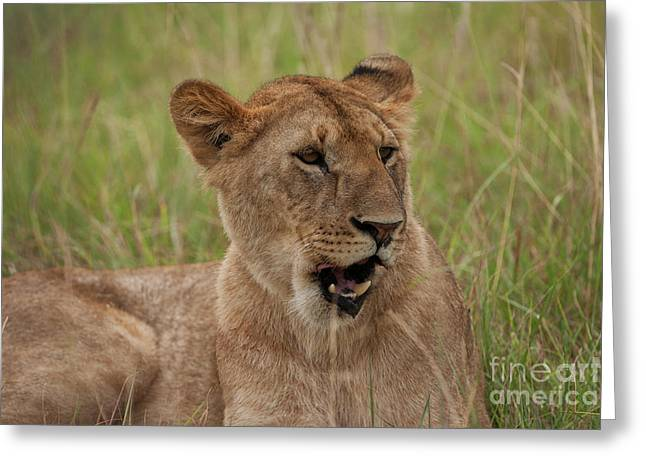 The Lioness Greeting Card by Nichola Denny