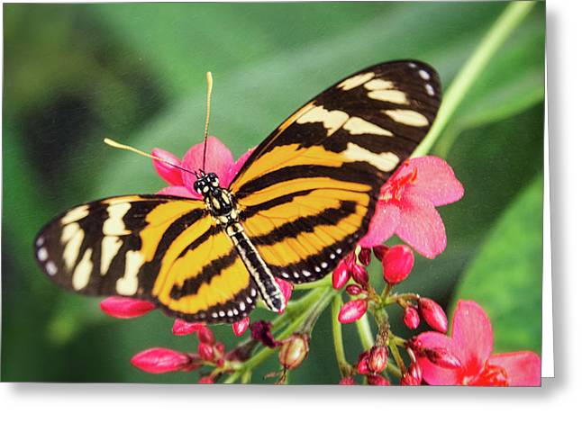 Greeting Card featuring the photograph The Postman Longwing  by Saija Lehtonen