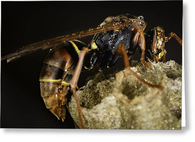 The Wasp Greeting Card