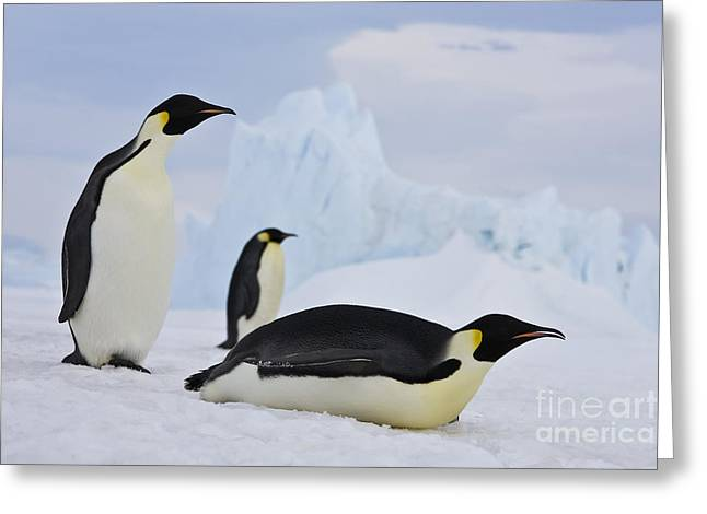 Three Emperor Penguins Greeting Card by Jean-Louis Klein & Marie-Luce Hubert