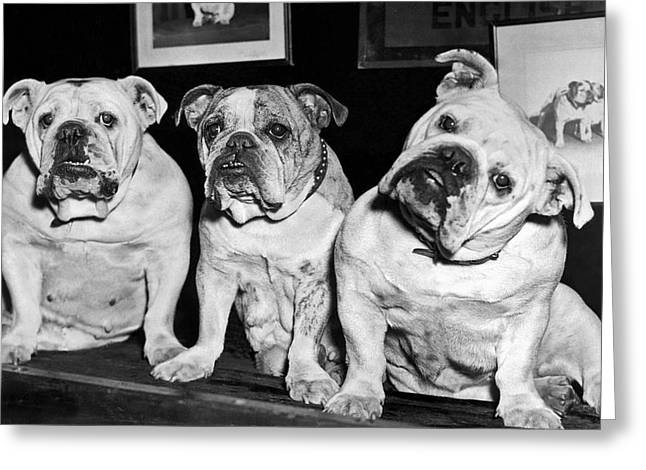 Three English Bulldogs Greeting Card by Underwood Archives