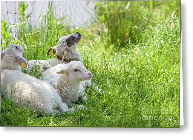 Greeting Card featuring the photograph Three Little Lambs by Patricia Hofmeester