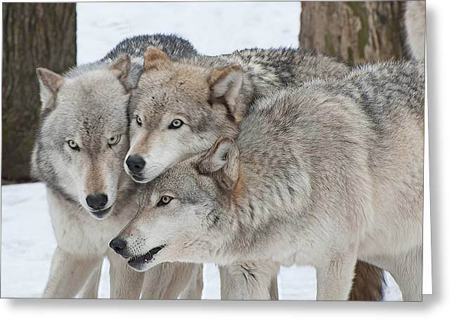 Three Wolves Are A Crowd Greeting Card